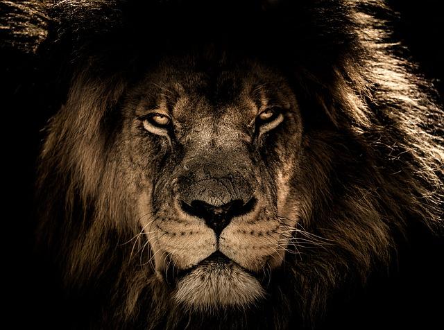 アイコンタクトの強いライオン